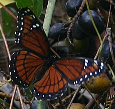 giant swallowtail butterfly caterpillar