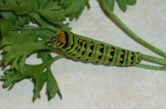Florida Butterflies